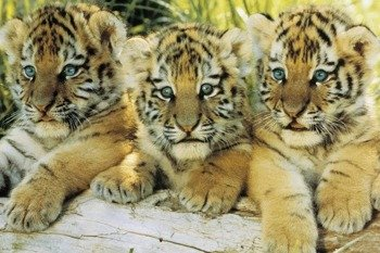plakat TIGER CUBS