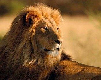 plakat LION - SUNSET